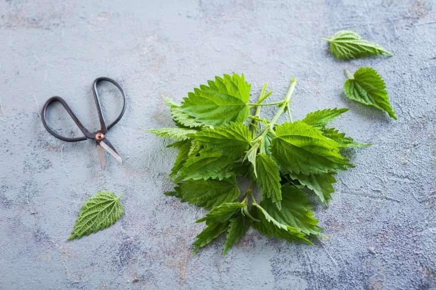 Жгучая красавица: как крапива поможет навести красоту и поправить здоровье